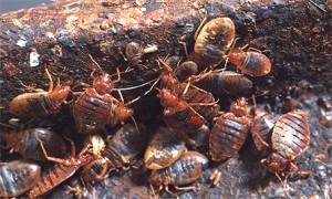 Самое эффективное уничтожение клопов с помощью инсектицидных препаратов