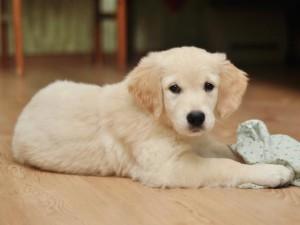 Советы по содержанию щенка ретривера