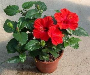 Гилея – все, что нужно для ухода за гибискусом и прочими растениями