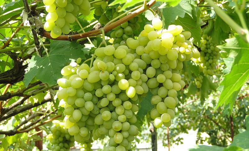 Виноград Августин — столовый сорт, непревзойденный во вкусе и неприхотливости